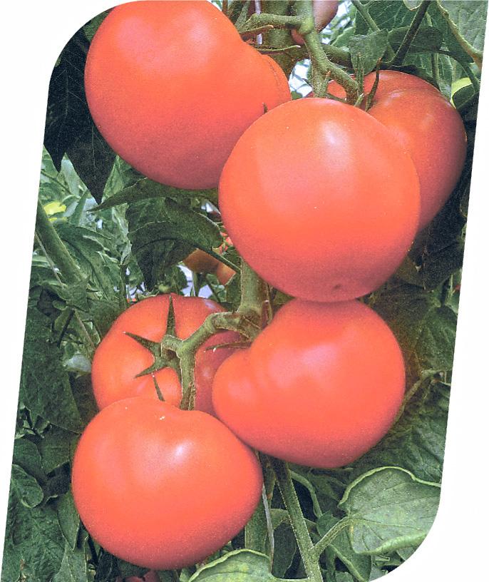 Семена индетерминантного томата